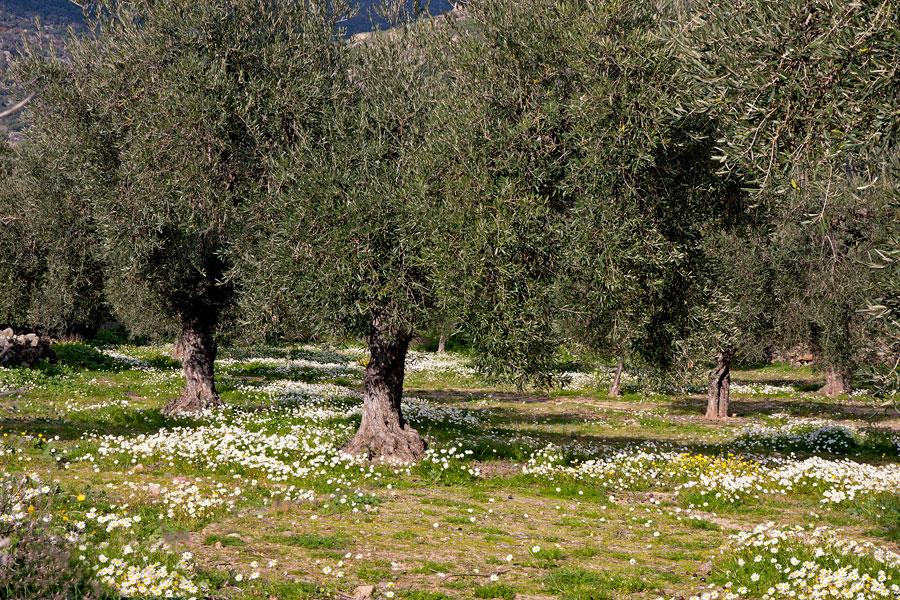 olijvenboomgaard_verkleind