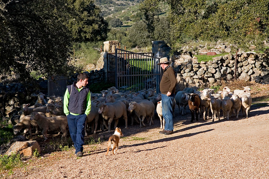 herder, schapen, Extremadura