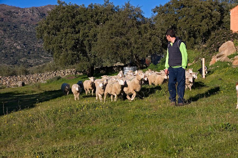 schapen, Extremadura