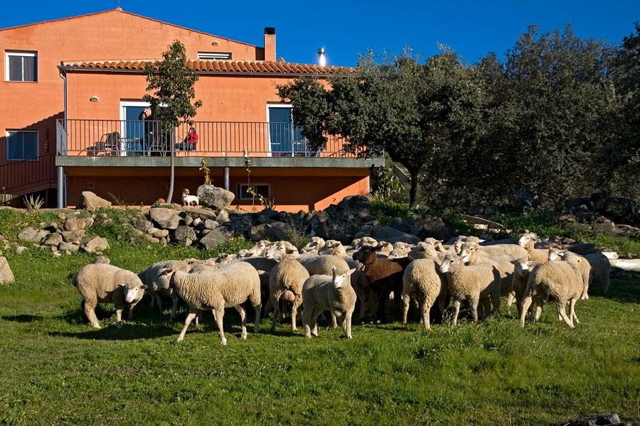 kudde schapen, Extremadura