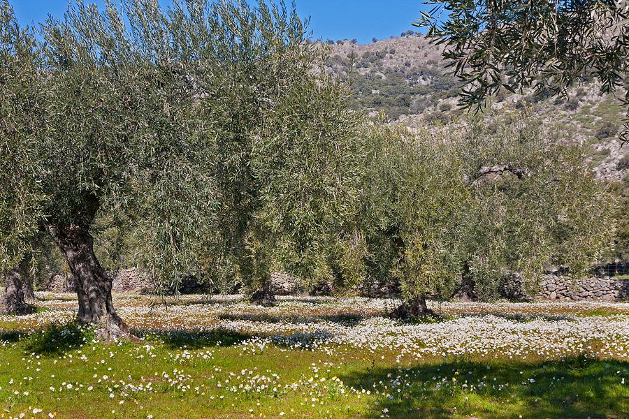 olijven boomgaard, Extremadura, bloemen