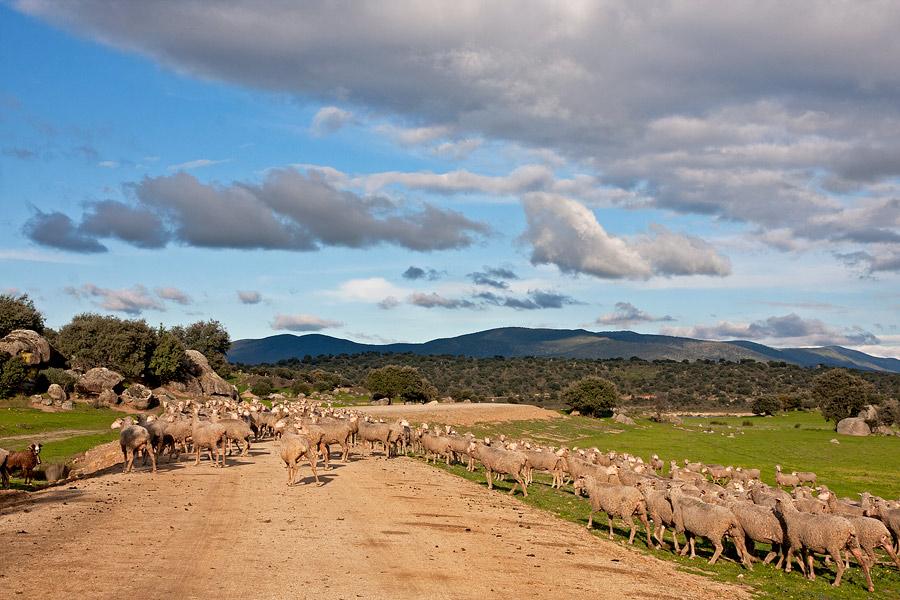alcollarin_schapen_verkleind